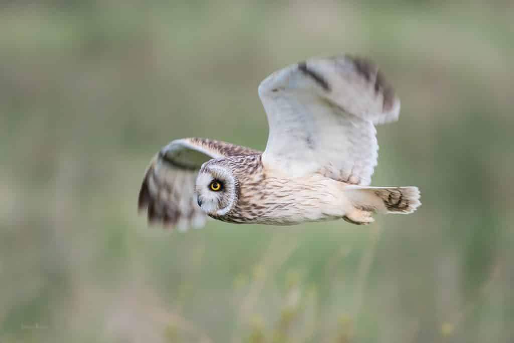 Corujas – Hábitos, características e curiosidades sobre a ave