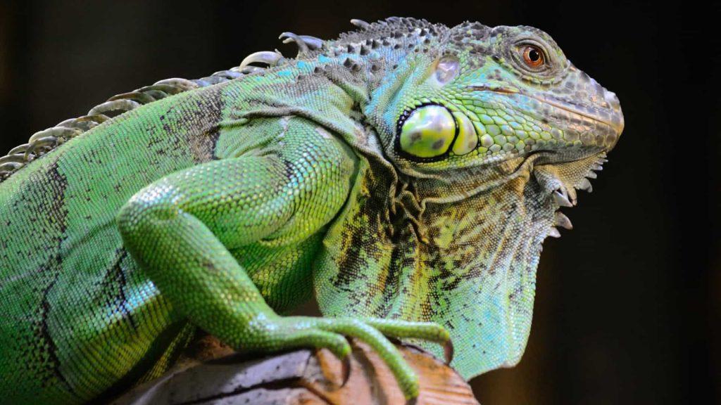 Iguanas – Origem, reprodução, hábitos e como vivem