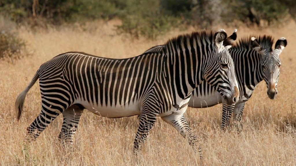 Listras das zebras – Características, pesquisas e função