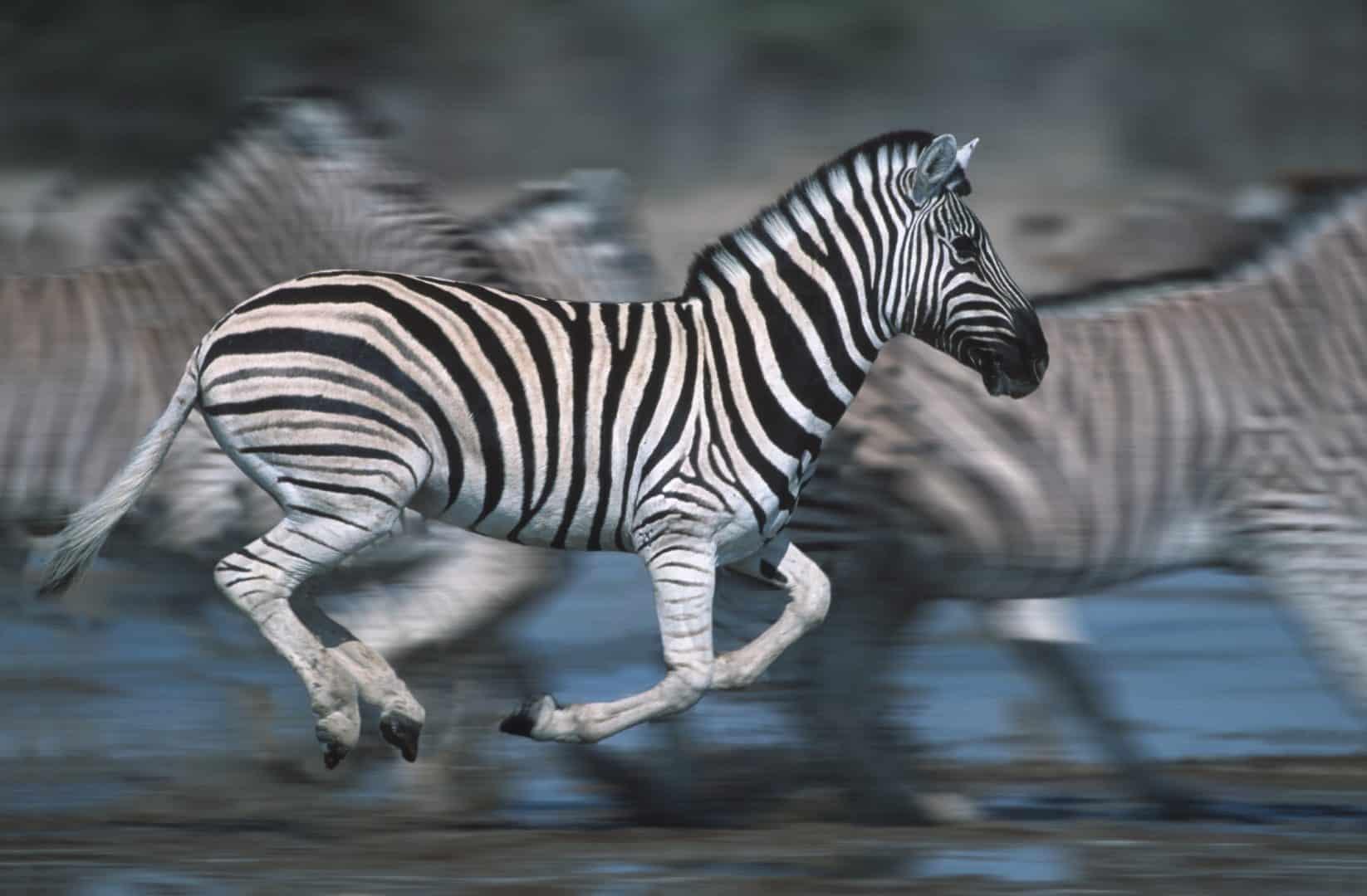 Listras das zebras - Características, pesquisas e função