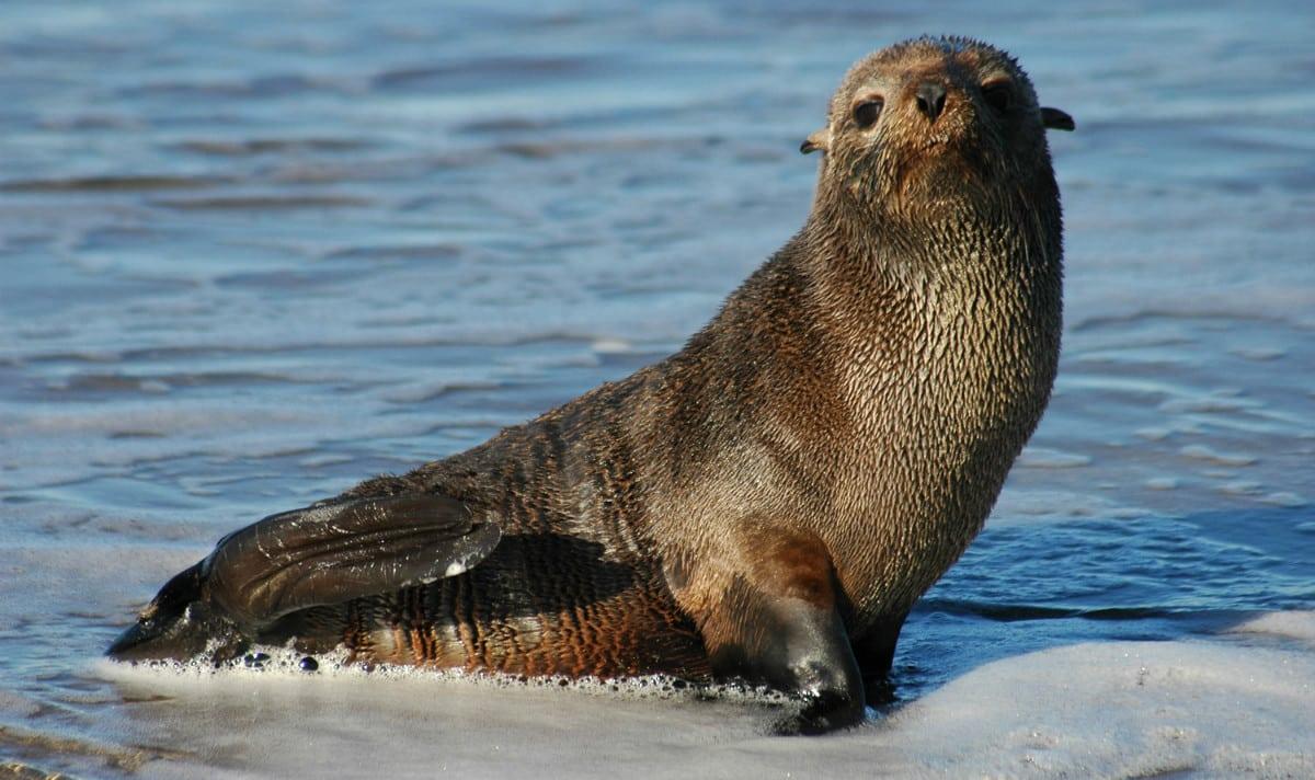 Lobos-marinhos - Características, onde vivem, espécies e extinção