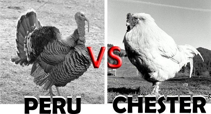 Peru, qual a origem da ave? Características, espécies e reprodução