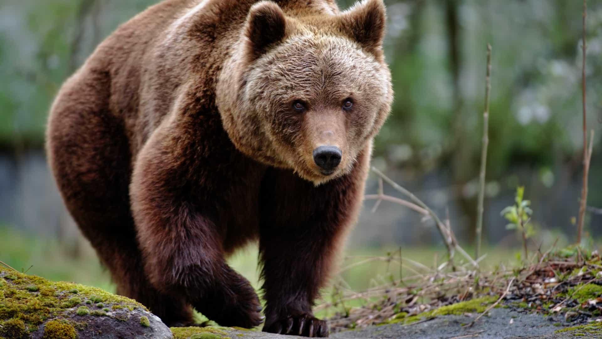 Ursos - Características, hábitos, reprodução e espécies