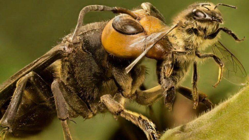 Vespa – Características, reprodução e como se diferencia das abelhas