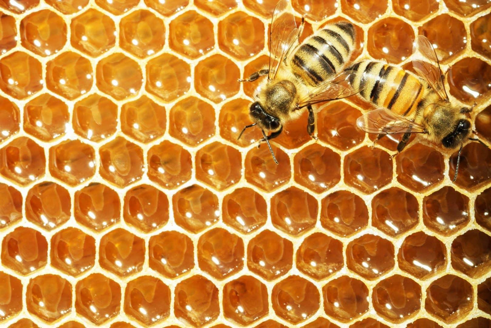 Abelhas - características, importância para a ecologia e produção de mel