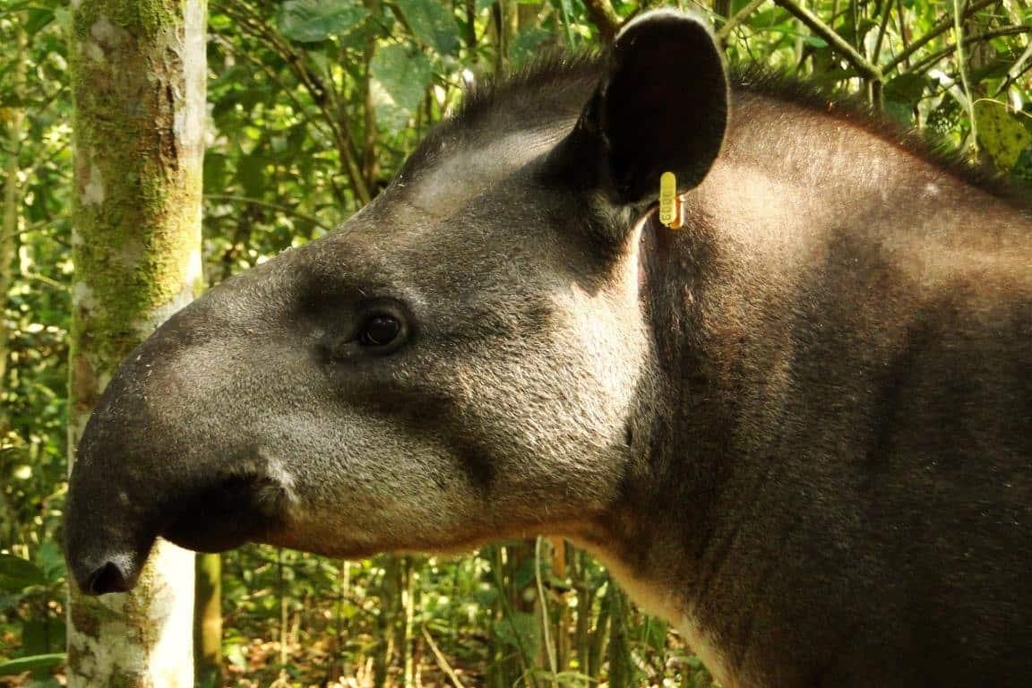 Anta - Conheça mais sobre o animal, seus hábitos e curiosidades