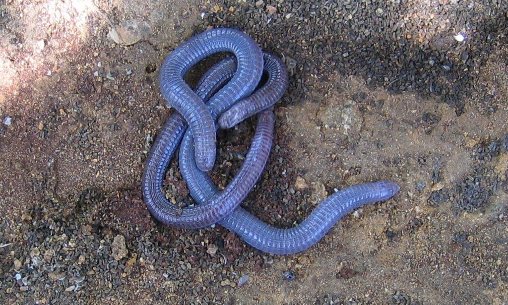 Cobra de duas cabeças – Espécie, hábitos e curiosidades sobre o animal