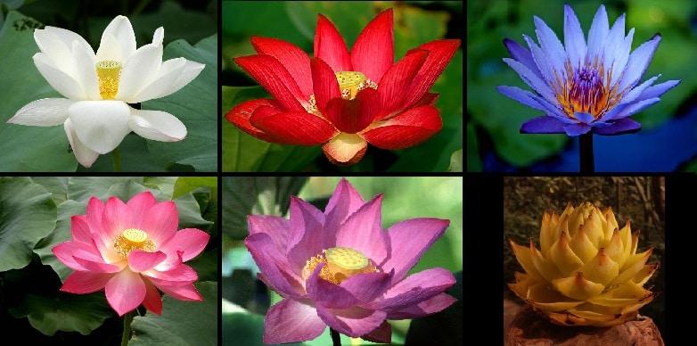 Flor de Lótus - o que é e o simbolismo por trás da planta
