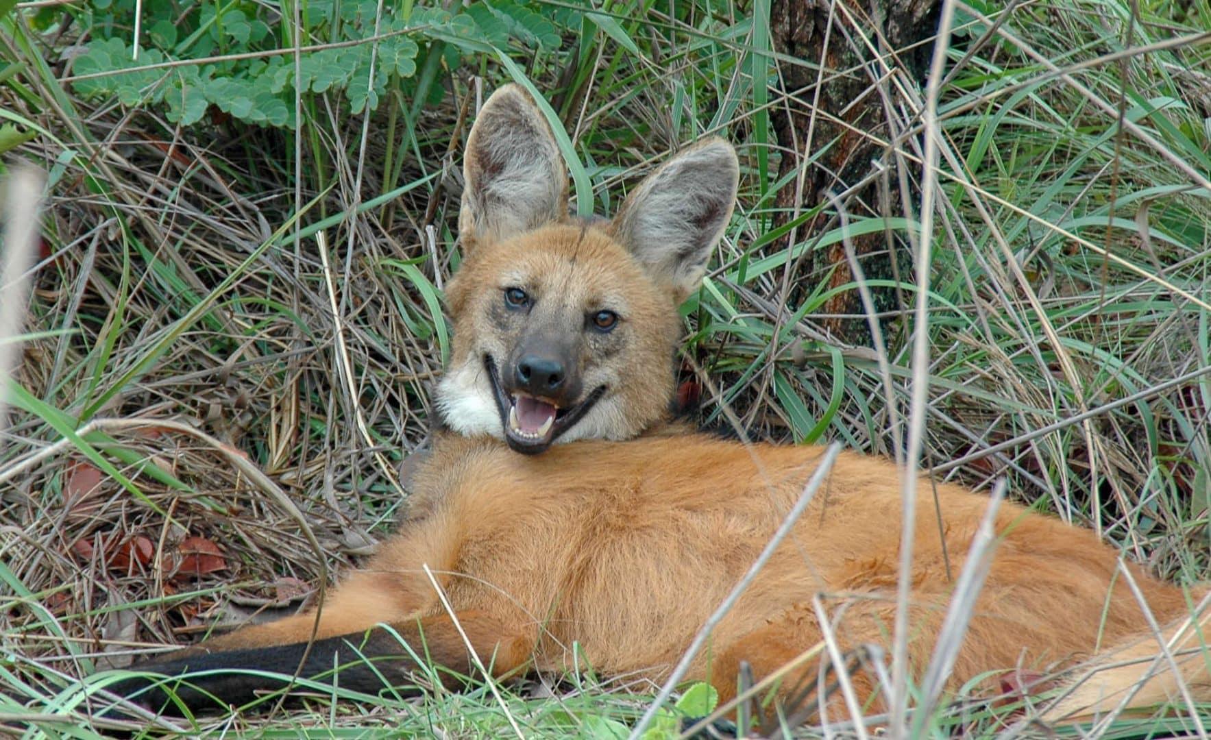 Lobo-guará - características, hábitos e risco de extinção do lobo brasileiro