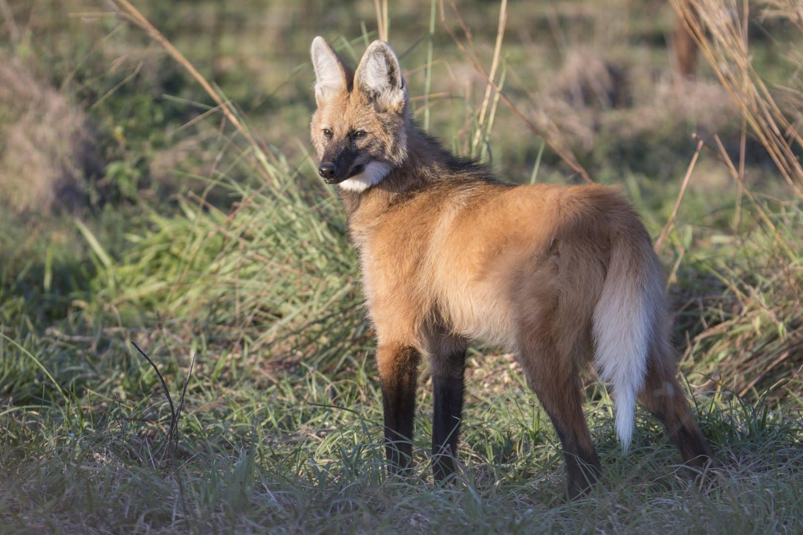 Lobo-guará - Características, hábitos e risco de extinção do animal