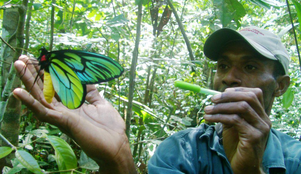 Maior borboleta do mundo – Características da espécie que passa de 30cm