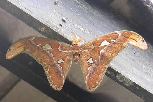 Maior borboleta do mundo - características da espécie que passa de 30cm
