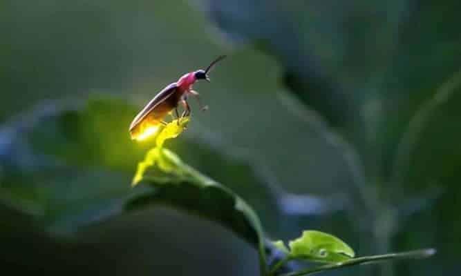 Vagalumes - como vivem os insetos e porque conseguem brilhar