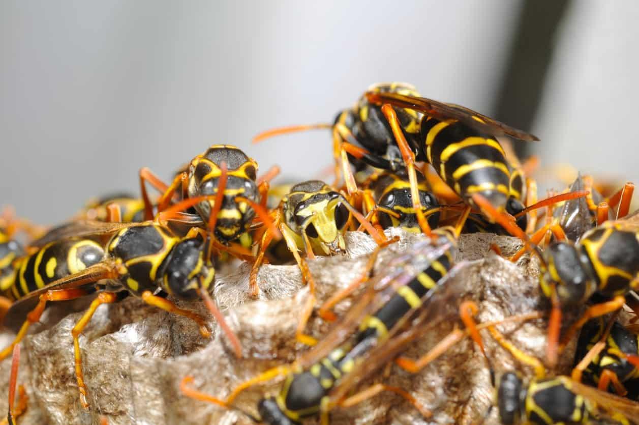 Vespa - Características, reprodução e como se diferencia das abelhas