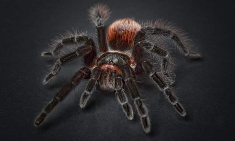 Aranhas venenosas – 12 aracnídeos com mais veneno no mundo