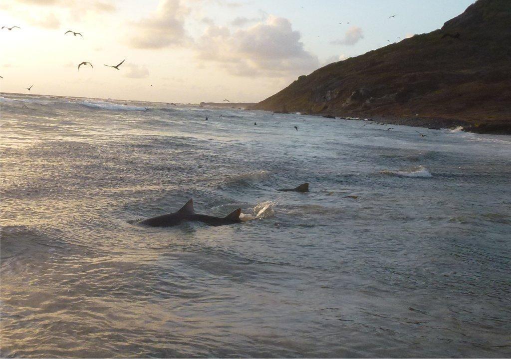 Ataque de tubarão - porque acontecem e praias mais perigosas do Brasil