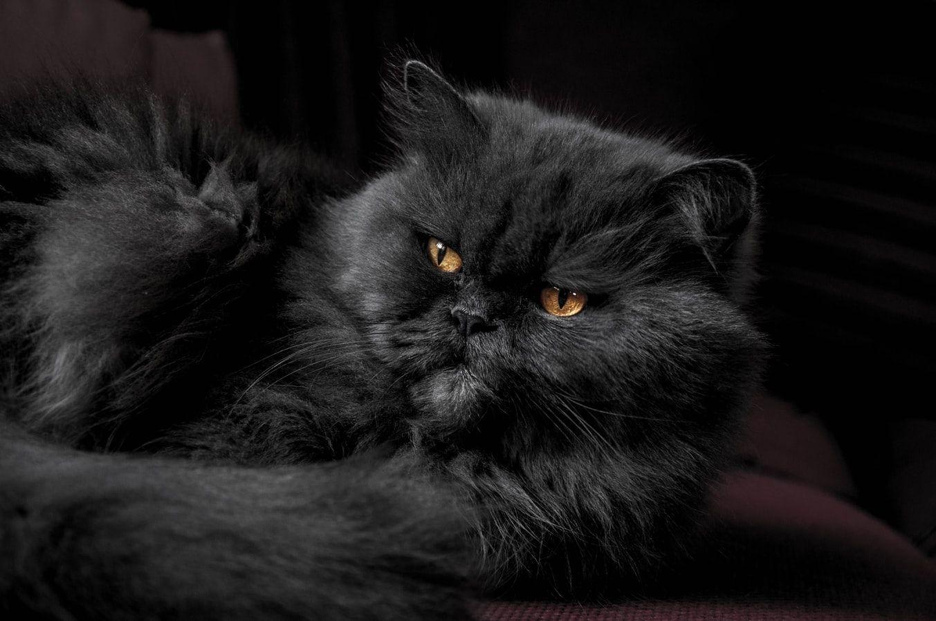 Gato Persa - história, características e principais cuidados com a raça