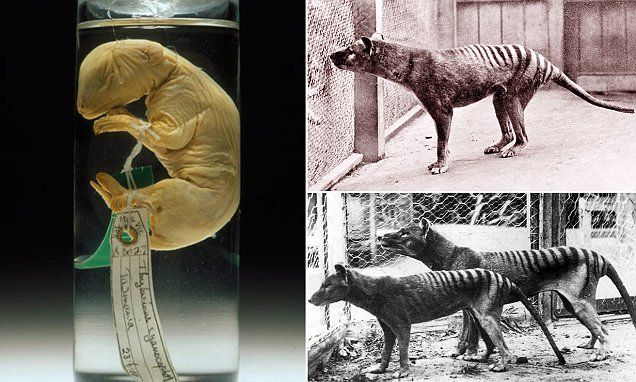 Lobo da Tasmânia - como viveu o extinto marsupial parecido com cachorro