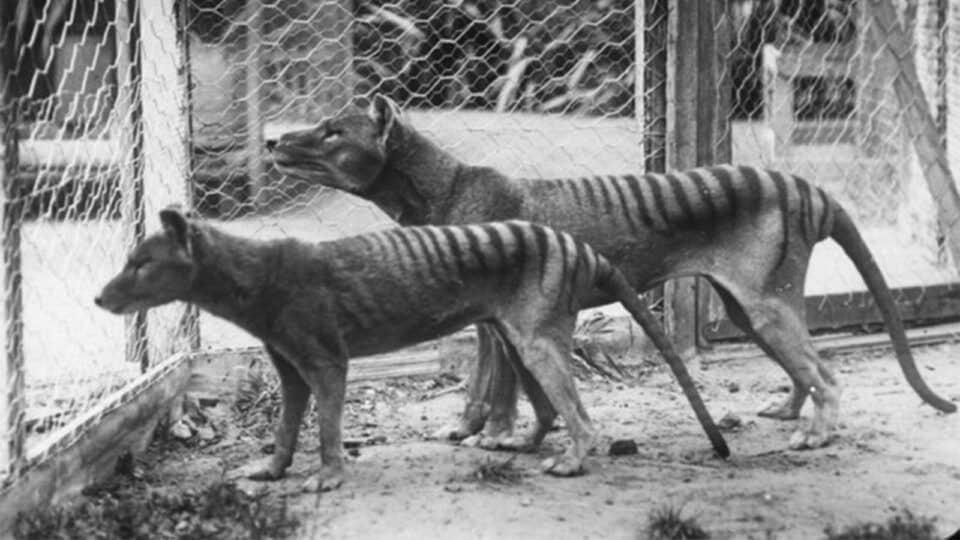 Lobo da Tasmânia – Características e extinção do animal