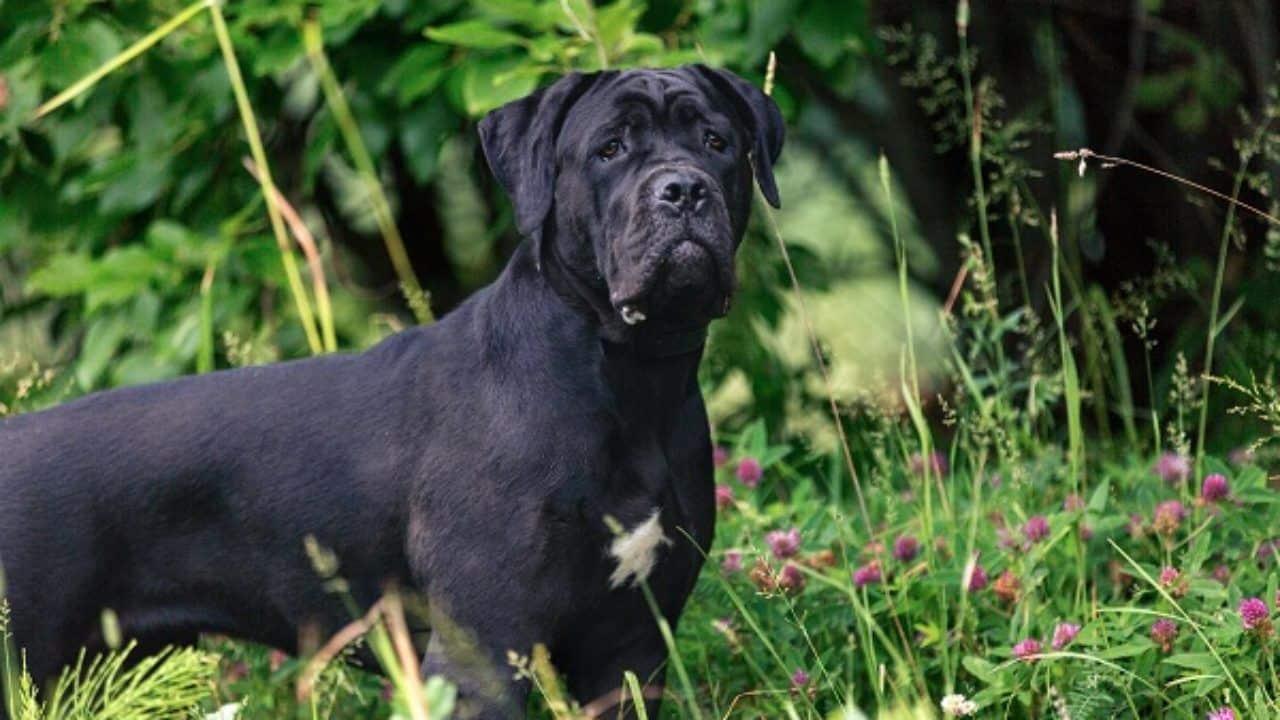 Maior cachorro do mundo, qual é? Saiba quais são os próximos na lista
