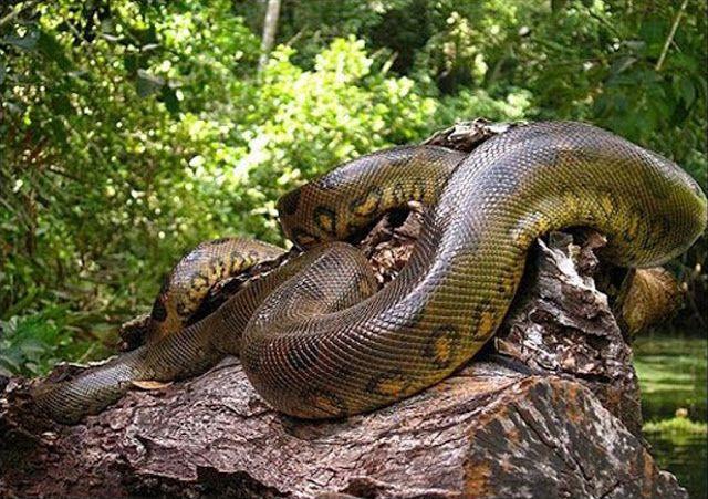 Maior cobra do mundo, qual é? Características e outras cobras gigantes