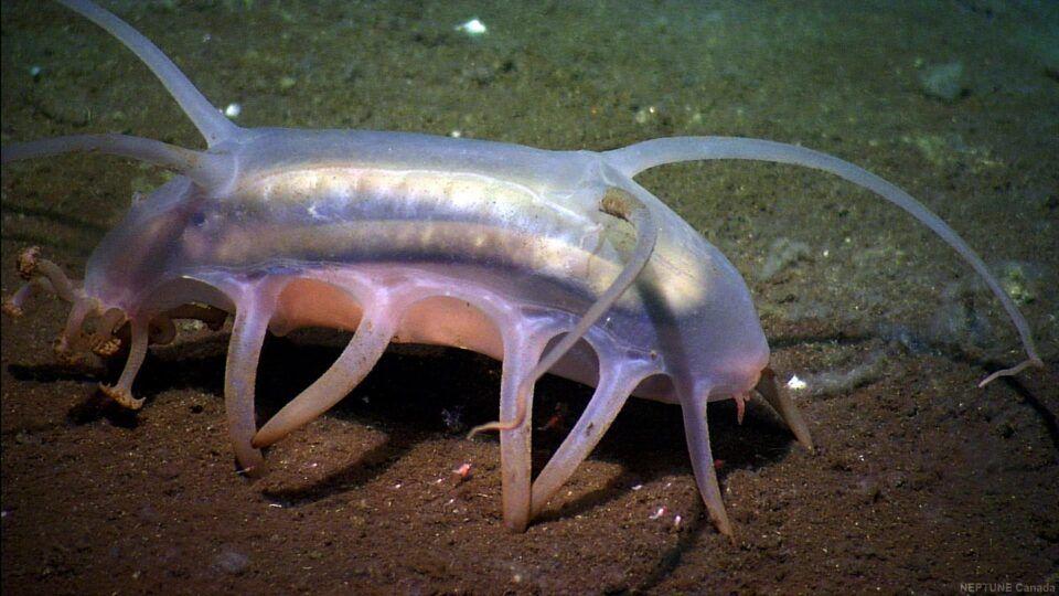 Porco-do-mar – Características e como vive a espécie do fundo do oceano