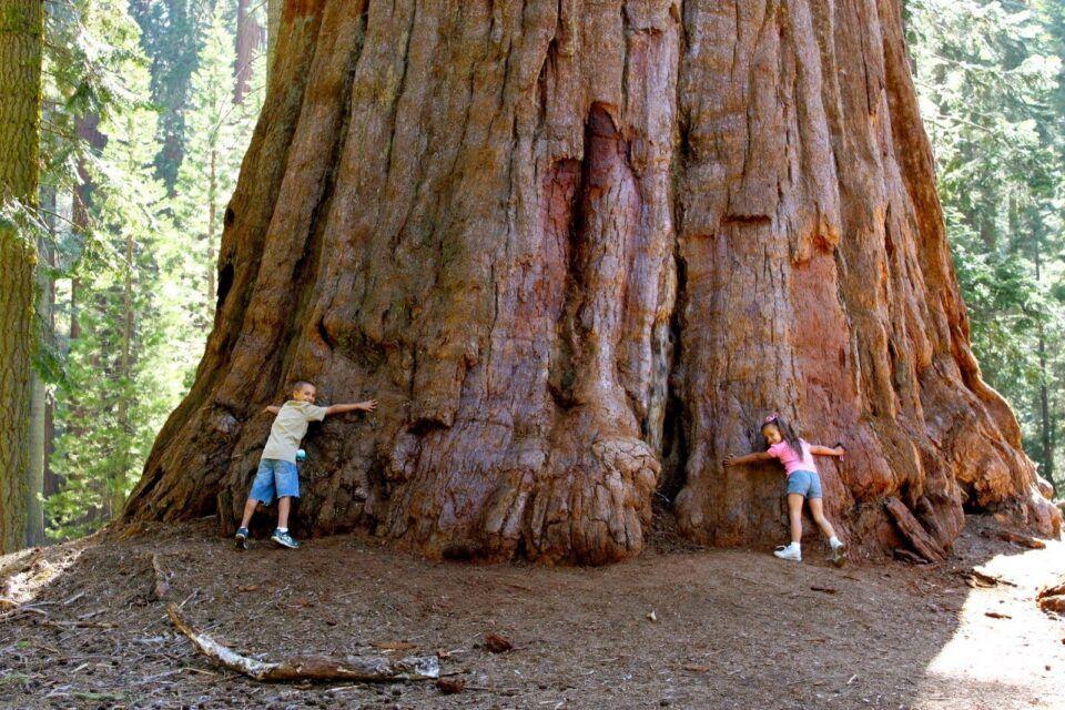 Sequoia gigante – História e características da maior árvore do mundo