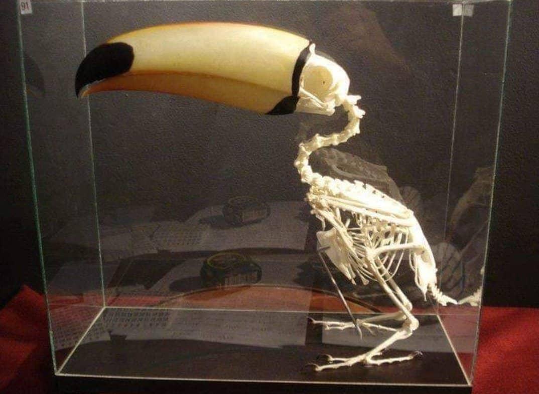 Tucanos - Origem, hábitos, espécies e curiosidades sobre a ave