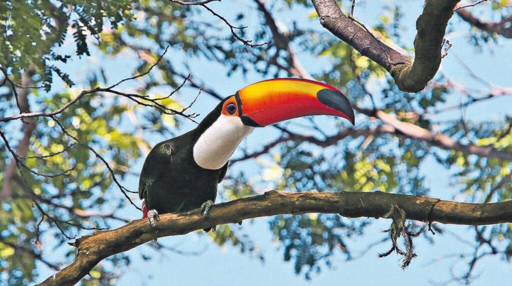 Tucanos: espécies, comportamento, características e curiosidades