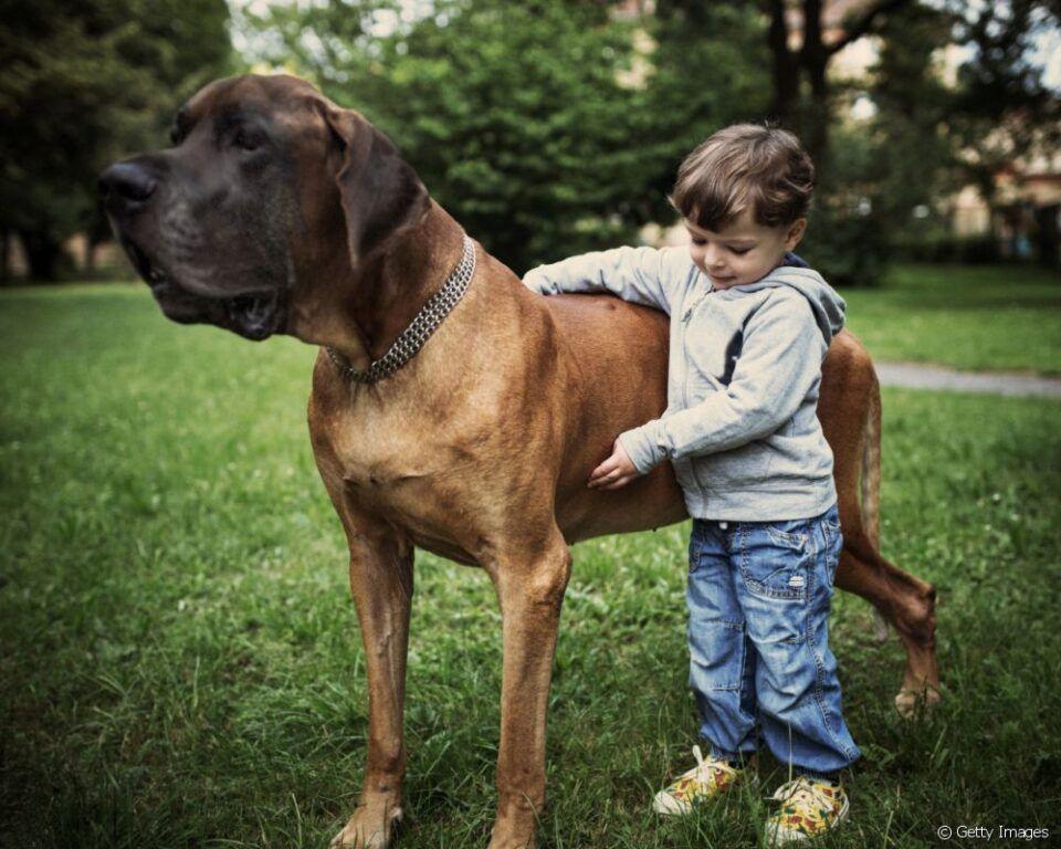 Cachorro gigante – Características e quais as maiores raças