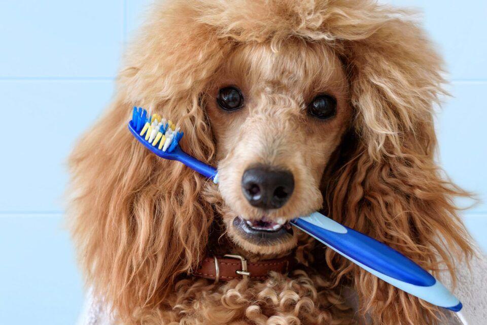 Escovar dente de cachorro – Como manter o hábito de higiene