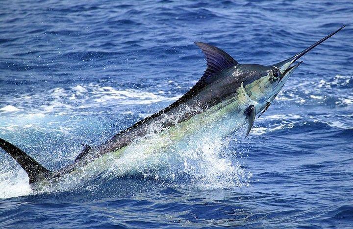 Peixe marlim - o que é e principais características as espécies populares