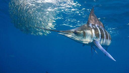 Peixe marlim, o que é? Principais características da espécie popular