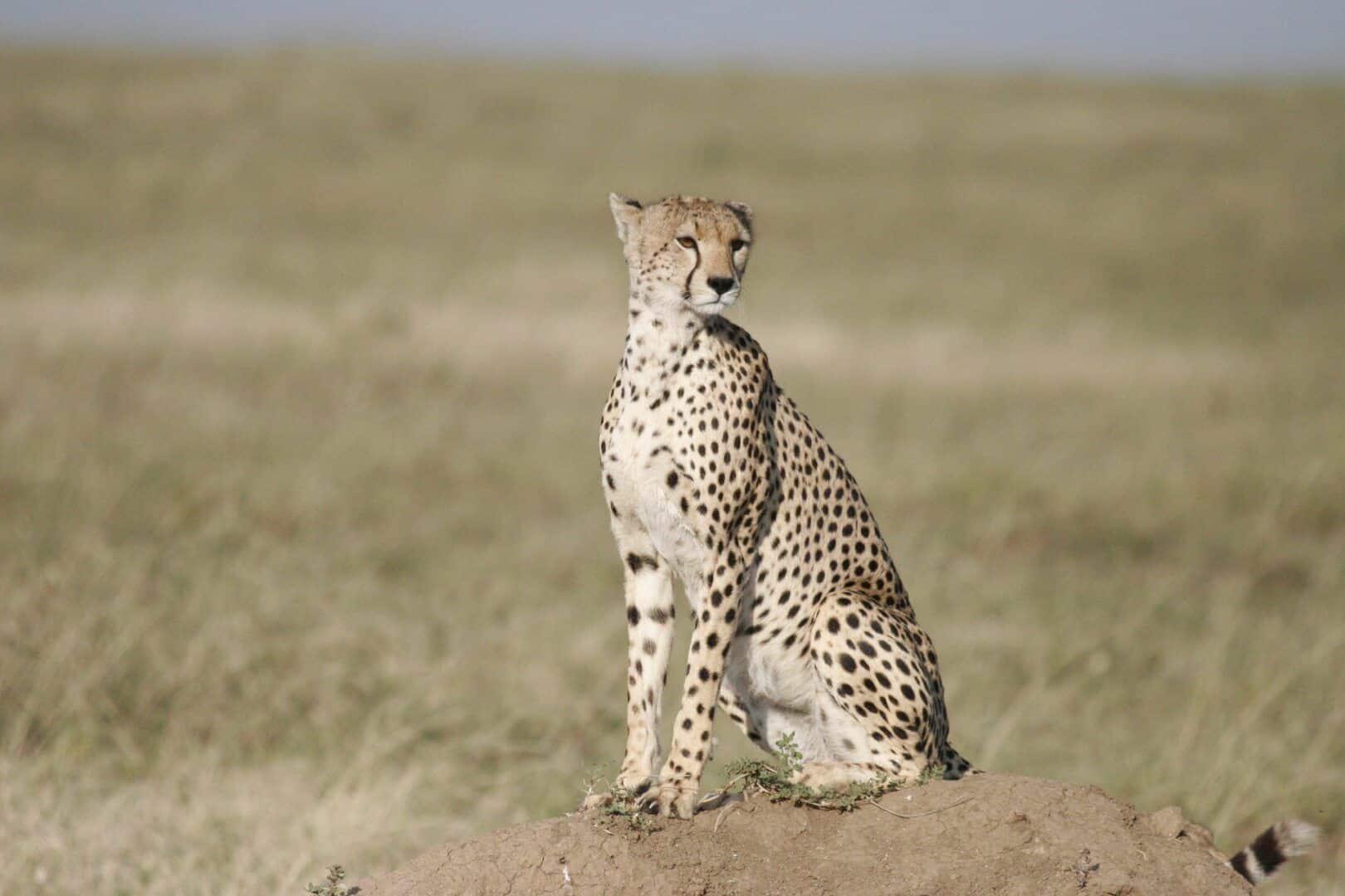 Saiba qual é o animal mais rápido do mundo e seus sucessores