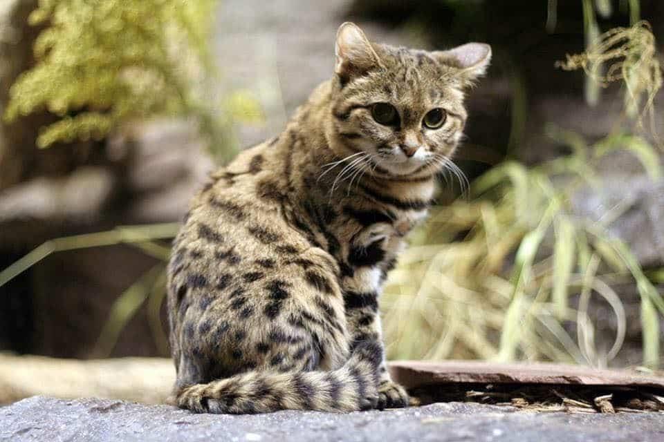 25 felinos raros caracteristicas desses animais exoticos 1