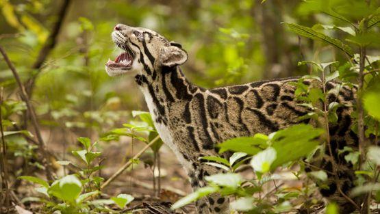 25 felinos raros caracteristicas desses animais exoticos 10