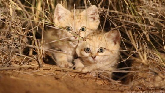 25 felinos raros caracteristicas desses animais exoticos 11
