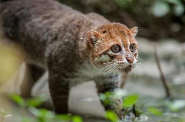 25 felinos raros caracteristicas desses animais exoticos 12