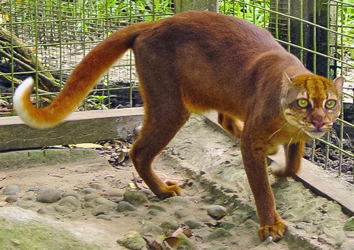 25 felinos raros caracteristicas desses animais exoticos 13