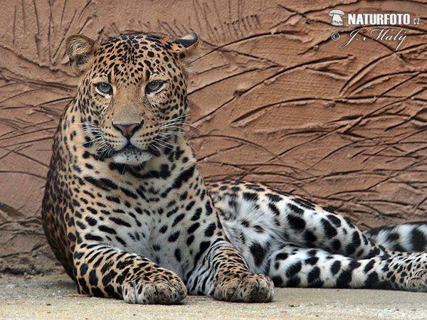 25 felinos raros caracteristicas desses animais exoticos 14
