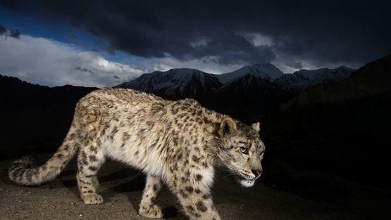 25 felinos raros caracteristicas desses animais exoticos 15