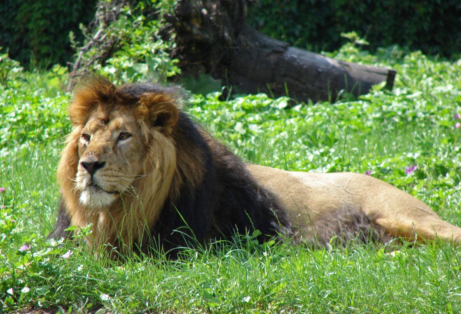 25 felinos raros caracteristicas desses animais exoticos 17