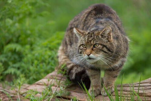 25 felinos raros caracteristicas desses animais exoticos 19