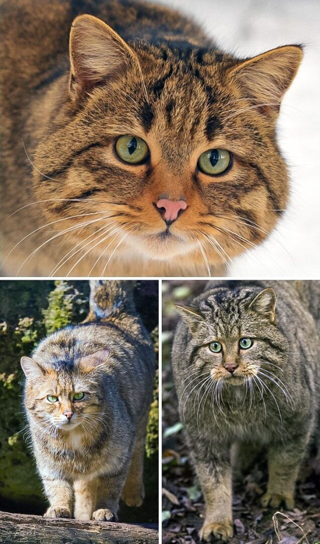 25 felinos raros caracteristicas desses animais exoticos 20