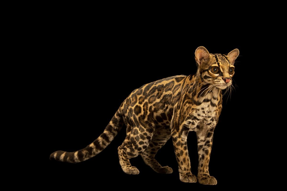 25 felinos raros caracteristicas desses animais exoticos 22