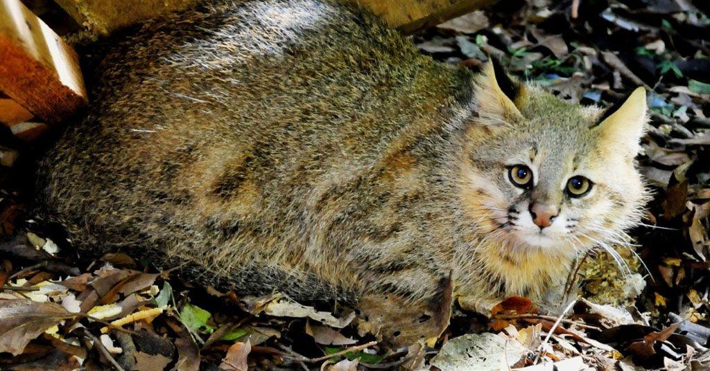 25 felinos raros caracteristicas desses animais exoticos 23