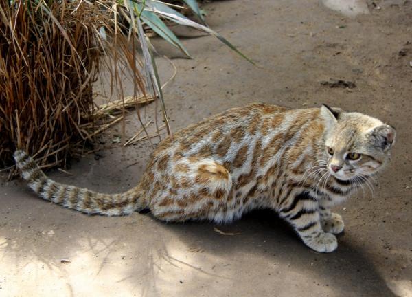 25 felinos raros caracteristicas desses animais exoticos 24