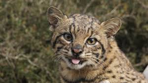 25 felinos raros caracteristicas desses animais exoticos 25