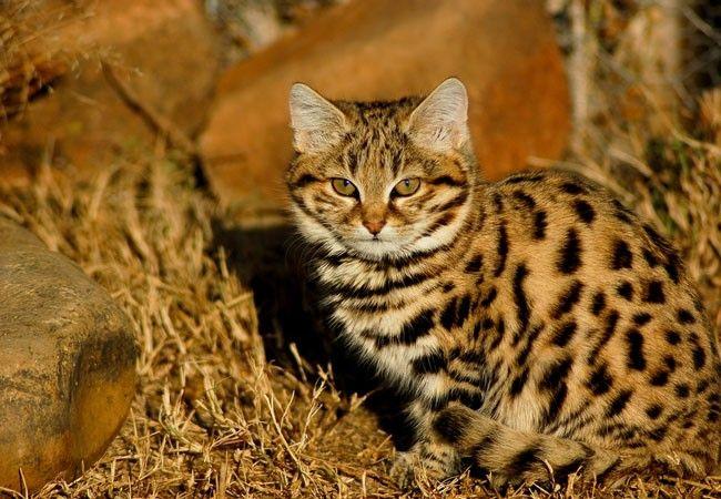 Felinos raros – 25 animais exóticos e suas características
