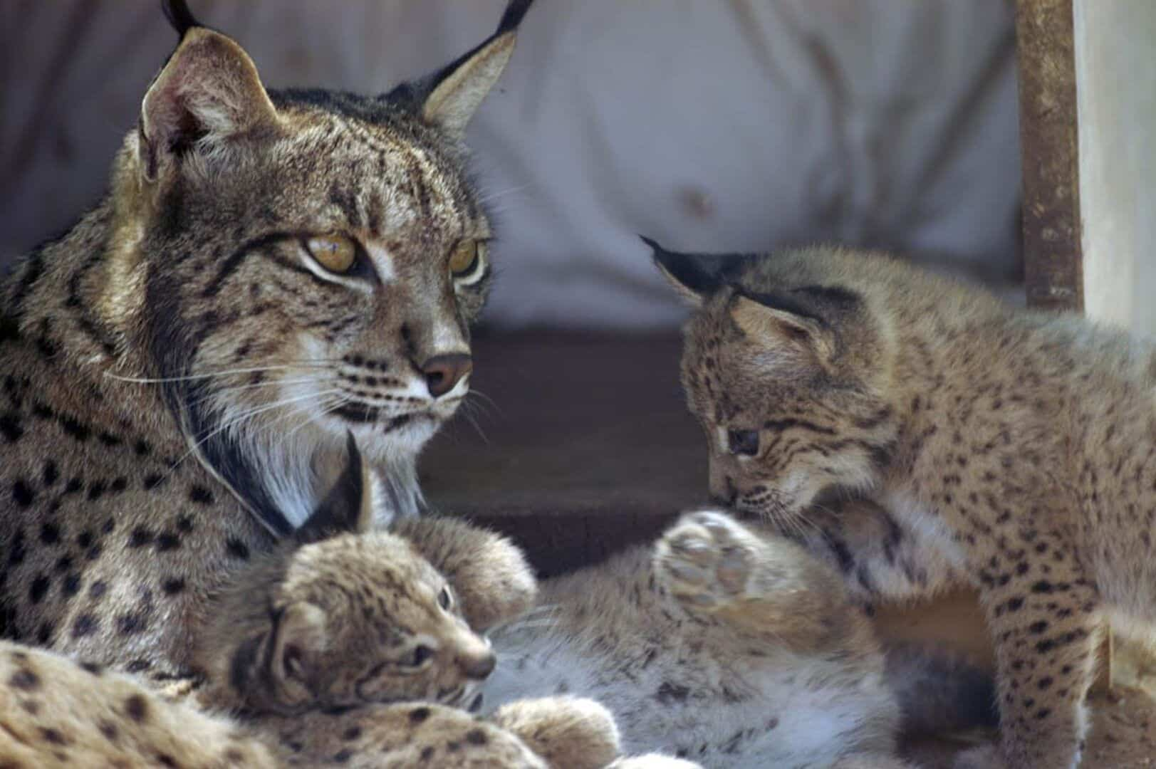 25 felinos raros caracteristicas desses animais exoticos 3